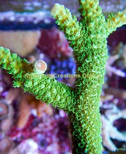 Picture of Electric Green Staghorn Acropora, Aquacultured