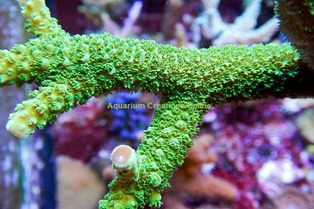 Picture of Electric Green Polyp Staghorn Acropora, Aquacultured by ACOL