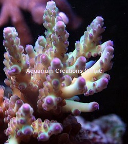 Picture of Pink Loripes Acropora, Aquacultured by ACOL