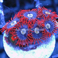 Picture of Aquacultured Alpha & Omega Zoanthids