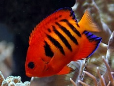 Dwarf Angelfish: Flame Angelfish and other Saltwater Dwarf Angelfish