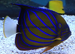 Picture of Annularis Angelfish