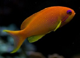 Anthias for Sale: Bartletts, Lyretail and other Anthais