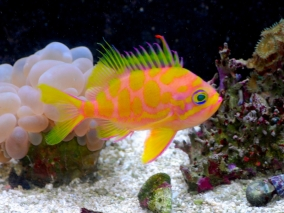 Picture of Japanese Borbonius Anthias also called the Blotched Anthias