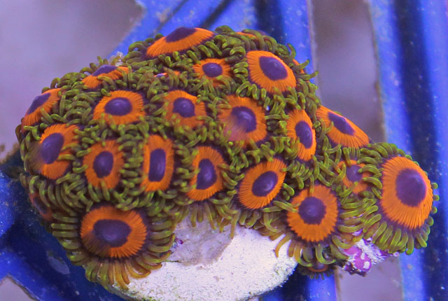 Aquacultured Eagle Eye Zoanthid Polyps