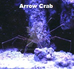 Picture of Arrow Crab