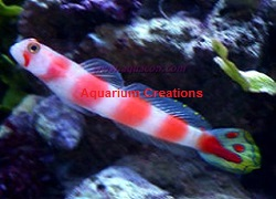 Picture of Aurora Goby