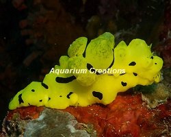 Picture of Banana Sea Slug