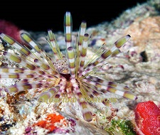 Picture of Banded Longspine Urchin