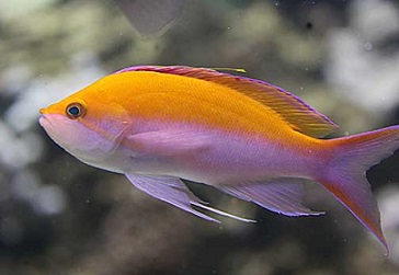 Picture of Hawaiin Bicolor Anthias