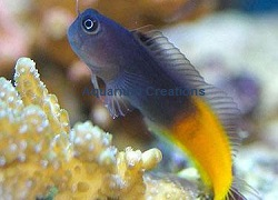 Picture of the Bicolor Blenny, Ecsenius bicolor