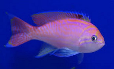 Picture of Bimaculatus Anthias