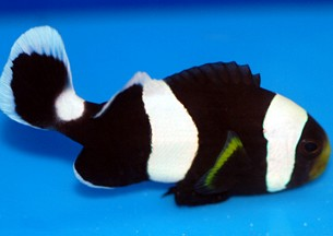 Designer clownfish chart - photo#22