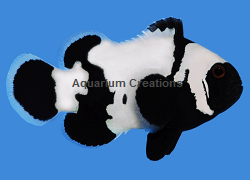 Picture of Black Snowflake Clownfish