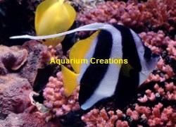 Picture of Heniochus Black & White Butterflyfish, Heniochus acuminata