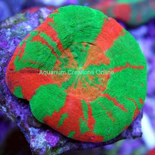 Picture of Australian Bleeding Sour Apple Scolymia Coral
