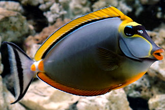 Tangs|Surgeonfish|Unicornfishes