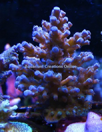 Picture of Blue Bottle Brush Acropora, Aquacultured by MIMF