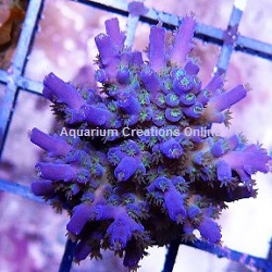 Picture of Blue Bottlebrush Acropora, Aquacultured