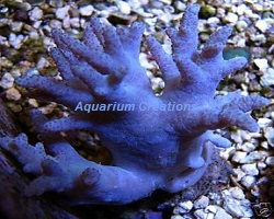 Picture of Blue Devils Finger Leather Coral