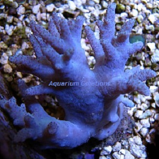 Picture of Aquacultured Blue Devils Finger Leather Coral