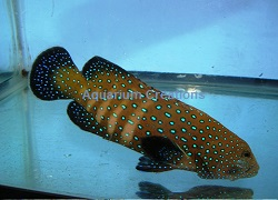 Picture of Blue Spotted Grouper