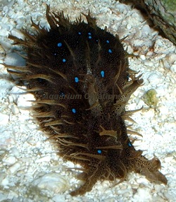 Picture of Blue Dot Sea Hare