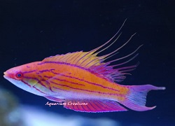 Picture of Violet Flasher Fairy Wrasse, Paracheilinus sp.