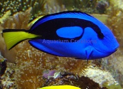 Picture of Blue Hippo Tang