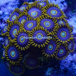 Picture of Aquacultured Blue Hornet Polyps