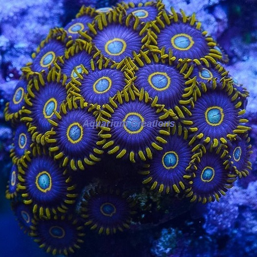 Picture of Blue Hornet Zoanthid Polyps