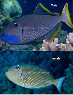 Picture of Blue Throat Triggerfish, Xanthicthys auromarginatus