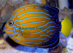 Picture of Blueline Angelfish