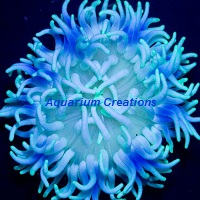 Picture of Blue Long Tentacle Anemone