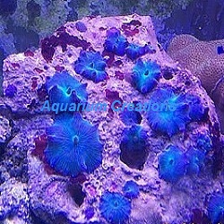 Picture of Aussie Blue Mushroom Coral, Actinodiscus Sp.