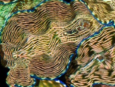 Picture of Deresa Clam Striped with Blue Rim