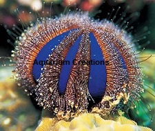 Picture of Blue Tuxedo Urchin