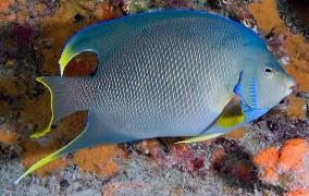 Order a Blue Angelfish Online