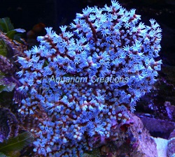 Picture of Blueberry Sea Fan