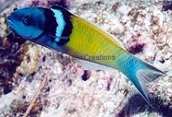 Picture of Bluehead Wrasse, Thalassoma bifasciatum