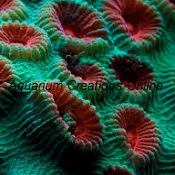 Picture of Brain Coral, Green with Red Eyes, Favia speciosa