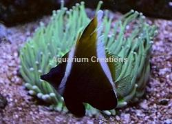 Brown Heniochus Butterflyfish, Chaetodon falcula