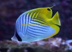 Picture of Auriga Butterflyfish, Chaetodon auriga