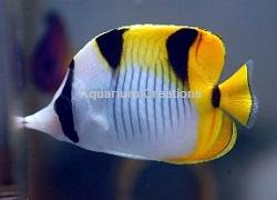 Picture of True Falcula Butterflyfish, Chaetodon falcula