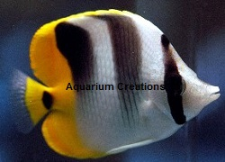 Picture of Double Saddle Butterflyfish, Chaetodon ulietensis