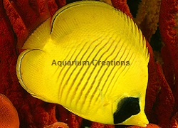 Picture of Golden Butterflyfish, Chaetodon semilarvatus