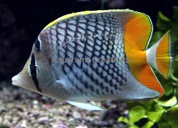 Picture of Pearlscale Butterflyfish, Chaetodon Xanthurus