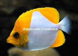 Picture of Pyramid Butterflyfish, Hemitaurichthys polylepis