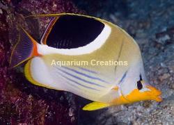 Picture of Saddleback Butterflyfish, Chaetodon ephippium