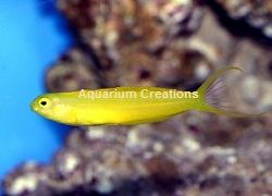 Picture of Captive Bred Canary Blenny, Meiacanthus oualanensis